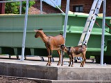 Goats, inspecting the new facility...